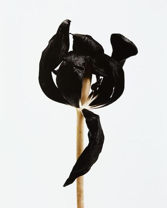 Black Tulip by Denis Brihat | DeSmitten
